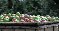 Skrzynka z jabłkami